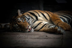 Bengal tiger sleeping Royalty Free Stock Photo