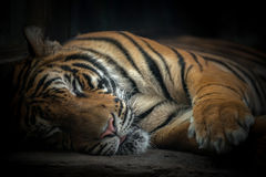 Bengal tiger sleeping Stock Images