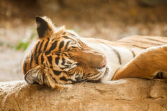 Bengal tiger is sleeping, and relax on timber under tree Stock Photo