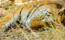 Bengal Tiger Sleeping Stock Photos