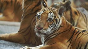 Bengal tiger. Slow motion of bengal tiger stock video footage