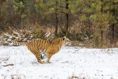 Bengal Tiger Stock Photos