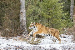 Bengal Tiger. A Bengal Tiger in a snowy Forest hunting for prey Royalty Free Stock Photo