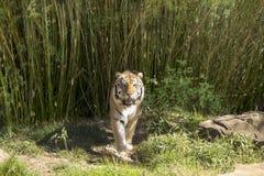 Bengal tiger som går in mot kamera Fotografering för Bildbyråer