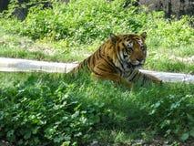 Bengal tiger som kopplar av in i den Chatver zoo Chandigarh Punjab fotografering för bildbyråer