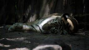 Bengal tiger som ligger i skuggan arkivfilmer