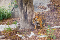 Bengal Tiger Stalking Prey Royalty Free Stock Images