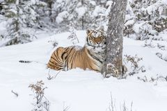 Bengal tiger in snow. A Bengal tiger stalks prey in snowy forest Stock Photos
