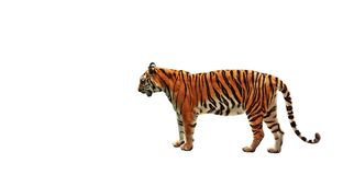 Bengal Tiger Stand on White Background, Clipping Path. Bengal Tiger Stand Isolated on White Background, Clipping Path Royalty Free Stock Images