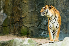 Bengal tiger standing facing to the side Stock Photos