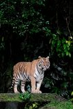 Bengal Tiger standing in forest at Thailand. Bengal Tiger standing in forest show head and leg stock photography