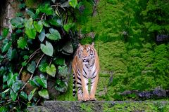 Bengal Tiger standing in forest at Thailand. Bengal Tiger standing in forest show head and leg at Thailand royalty free stock images
