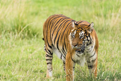 Bengal tiger. Standing in the grass Stock Photos