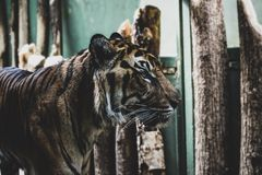 Bengal Tiger Standing Near Wooden Logs royalty free stock photos