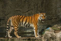 Bengal tiger standing Royalty Free Stock Image