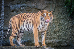Bengal tiger. Standing on the rock Royalty Free Stock Photography