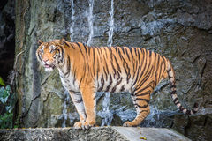 Bengal tiger. Standing on the rock Royalty Free Stock Photo