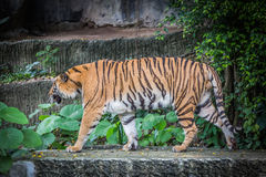Bengal tiger. Standing on the rock Stock Photos
