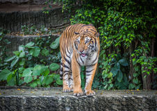 Bengal tiger. Standing on the rock Royalty Free Stock Image