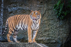 Bengal tiger. Standing on the rock Royalty Free Stock Images
