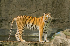 Bengal tiger standing on the rock. Closeup bengal tiger standing on the rock Royalty Free Stock Photo