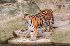 Bengal tiger standing on the rock near water. Orange and black striped bengal tiger standing on the rock near water Stock Photography