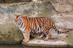 Bengal tiger standing on the rock near water. Orange and black striped bengal tiger standing on the rock near water Royalty Free Stock Image