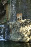 Bengal tiger standing on the rock Royalty Free Stock Photos