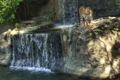 Bengal tiger standing on the rock Stock Photography