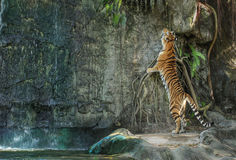 Bengal tiger standing on the rock. Near waterfall Stock Photos