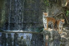 Bengal tiger standing on the rock. Near waterfall Stock Image