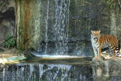 Bengal tiger standing on the rock. Near waterfall Stock Images