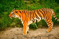 Bengal tiger stands on the background of green grass. royalty free stock photography