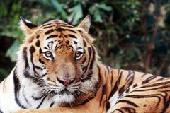 Bengal tiger staring at the camera Stock Images
