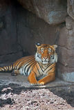 Bengal Tiger Staring at Me Portrait Stock Photos