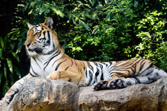Bengal tiger staring at something Royalty Free Stock Photos