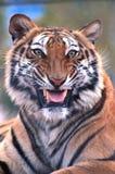 Bengal tiger --- Stor katt Royaltyfria Bilder