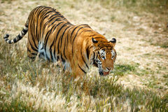 Bengal tiger in summer day Stock Photo