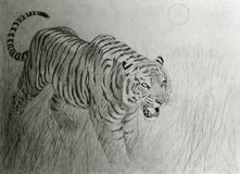 Bengal tiger at sunset. Hand drawing of tiger at sunset Stock Image