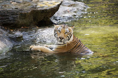 Bengal tiger swimming Royalty Free Stock Photo