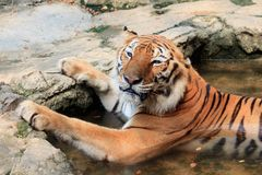 Bengal tiger take a bath look cute Royalty Free Stock Photos