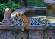 Bengal-Tiger am Tierkönigreich lizenzfreie stockfotos