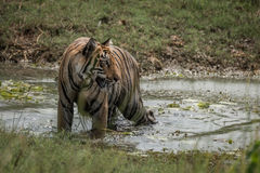 Bengal tiger turns head in shallow stream Royalty Free Stock Image