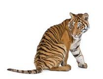Bengal-Tiger vor einem weißen Hintergrund stockfotos