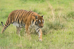 Bengal tiger. A bengal tiger walking across Stock Photos
