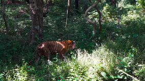 Bengal tiger walking in forest ultra high definition shot from jungle. Man eater tiger walking in forest ultra high definition shot from jungle stock video