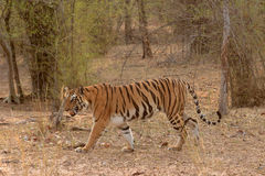 Bengal Tiger Walking. In the morning in bandhavgarh national park, india Royalty Free Stock Photo
