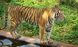 Bengal tiger walking Stock Photo