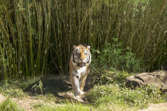 Bengal tiger walking toward camera Stock Image