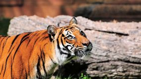 Bengal tiger watching Stock Photography